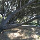 Shee Oak