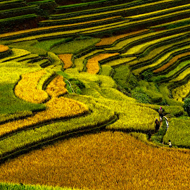 Colors of rice fields by VoVan Thanh - Landscapes Prairies, Meadows & Fields