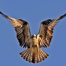 Hawk by Gayle Wilcox - Animals Birds ( hawk )