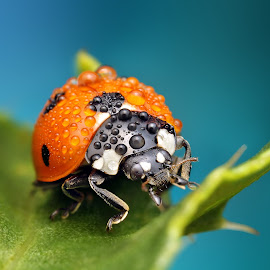 Red slider by Ondrej Pakan - Animals Insects & Spiders ( macro, dew, bug, ladybird, dew drops, ladybug, insect,  )