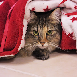 Cat in Red by Sheila Marques - Animals - Cats Portraits ( #cats, #norwegianforestcats, #kitties, #cat, #norwegianforestcat,  )