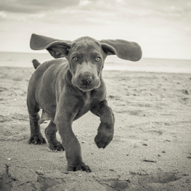 ARTHUR by Dean Tunberg - Animals - Dogs Puppies ( sand, weimaraner, black and white, beach, dog )
