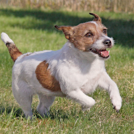 Accleration by Mia Ikonen - Animals - Dogs Running ( playing, joyful, jack russell terrier, finland, running,  )