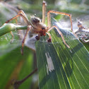 Grass spider (male)