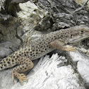 Large Spotted  Leopard Lizard