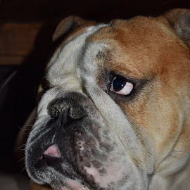 by Corina Ene Noël - Animals - Dogs Portraits ( english bulldog, bulldog, dog )