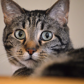 by Dee Schindler VanBilliard - Animals - Cats Portraits ( cat, sweetheart, posing, portrait )