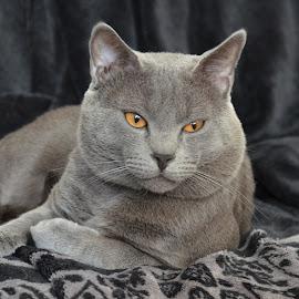 Hugo de Ventadour Chat des Chartreux by Serge Ostrogradsky - Animals - Cats Portraits ( mâle, chat chartreux race mâle yeux or, yeux, chartreux, or, chat, race )