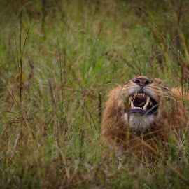 Not to close !!! by Wim Moons - Animals Lions, Tigers & Big Cats ( lion, oeganda, western region, katoke, uga )