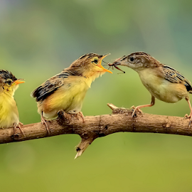 Three Birds by Roy Husada - Animals Birds (  )