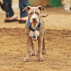 Pitbull pup by Madeleine Wilson - Animals - Dogs Puppies ( dog park, pitbull, pup, puppy, dog, cute )