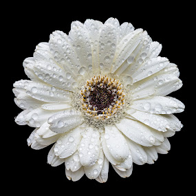 Daisy by Steven Put - Nature Up Close Flowers