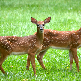 Twins by Brian Shoemaker - Novices Only Wildlife ( fawns, backyard, spring, twins, deer )