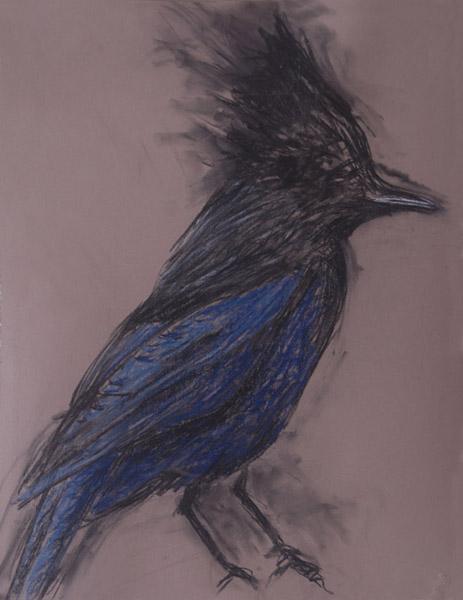 Steller Jay <br> Pastel on paper <br> 25.7 x 20 in