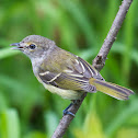White-eyed Vireo (immature)