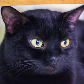 sasha by Dan Stelian Sala - Animals - Cats Portraits ( wild, cat, indoor, domestic, portrait, animal,  )