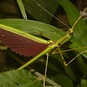 Malaysian Green Jewel Stick Insect, Phasmid