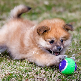 Play Time by Gary Want - Animals - Dogs Puppies ( ball, queensland, australia, play, puppy, pomeranian )