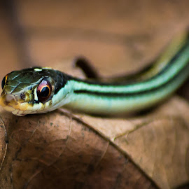 Ribbon Snake by Norman Rowsey - Animals Reptiles ( #naturephotography, #snakes, #nature, #animals, #naturephotos, #slither, #reptiles )