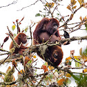 Colombian Red Howler Monkey