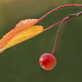 One Red Crabapple by Sue Matsunaga - Nature Up Close Gardens & Produce