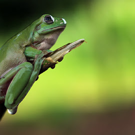 by Dedy Haryanto - Animals Amphibians (  )
