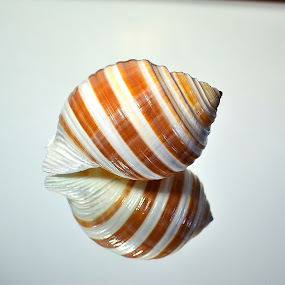 Reflection by Patricia Warren - Artistic Objects Still Life ( nature, seashell, ocean,  )