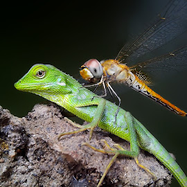 baby bunglon and friend by Hendrata Yoga Surya - Instagram & Mobile Android ( bunglon, green crested lizard, londok, capung, dragonfly )