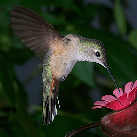 Hummingbird by David Benson - Animals Birds