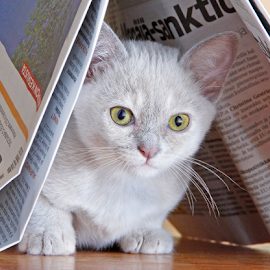 Clever cat by Mia Ikonen - Animals - Cats Kittens ( hiding, finland, cute, burmese, newspaper )
