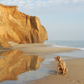 Amos Reflecting by Lisa Bibko-Vanderhoop - Animals - Dogs Portraits ( reflection, dogs, marthas vineyard, colors, cliff, ocean, beach, surf, island, landscape )