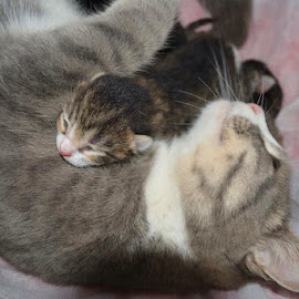 Mom's love !! by Normand Bienvenue - Animals - Cats Kittens