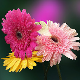 by Biljana Nikolic - Flowers Flower Arangements