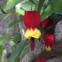 "Abutilon ""Kentish Belle"""