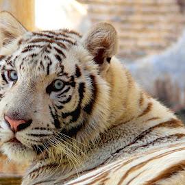 by Monang Naipospos - Animals Lions, Tigers & Big Cats ( big cat, tiger, animal )
