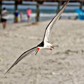 Buzzed by a black skimmer by Sandy Scott - Animals Birds ( fishing birds, black skimmer, water birds, skimmer, birds,  )