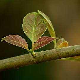 New Leaves by Malay Maity - Nature Up Close Leaves & Grasses ( nature, tree, green, nature up close, leaves,  )