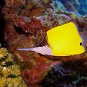 Forcep Fish / Yellow Longnose Butterflyfish