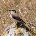 Wheatear; Collalba Gris