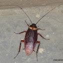 American Cockroach or Waterbug
