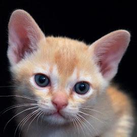 Merlin by Krista Nurmi - Animals - Cats Kittens
