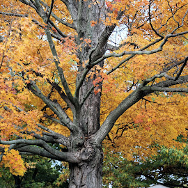 Welcoming Fall Color 5 by Terry Saxby - Nature Up Close Trees & Bushes ( color, terry, fall, trees, leaves, saxby, nancy )