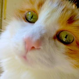 No I Didn't by Stephen Barrett - Animals - Cats Portraits