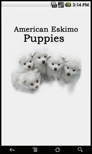 American Eskimo Puppies