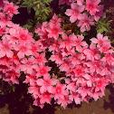 Reddish Pink Flower
