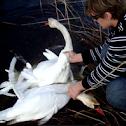 Swans Drama (video)