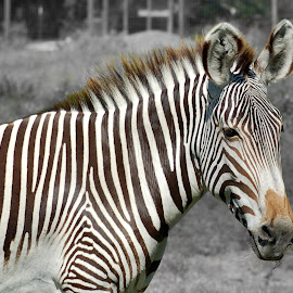 Lines 1 by Philip Molyneux - Animals Other Mammals ( wild, equine, zoo, zebra )