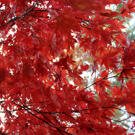 Red.... by Susanne Carlton - Nature Up Close Trees & Bushes (  )