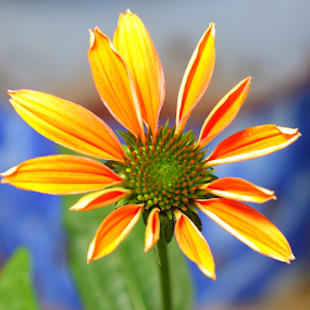 Late Summer Cone Flower by Brian Robinson - Flowers Single Flower