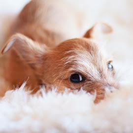 Milo by Zoe Preston Rayne - Animals - Dogs Puppies ( yorkie, chalky, puppy, dog, cute,  )